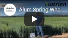 Alum Spring Wheat