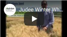 Judee Winter Wheat1
