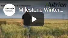 Milestone Winter Wheat