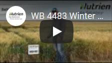 WB 4483 Winter Wheat1