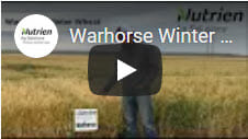 Warhorse Winter Wheat1